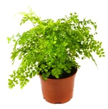 Maidenhair Fern (Adiantum raddianum) is a foliage plant with arching wiry stems and delicate leaves. How to grow these house plants, ferns picture, care tips. Orchid Plant Care, Orchid Plants, Foliage Plants, Patio Plants, Garden Plants, Indoor Plants, Fern Plant, Trees To Plant, Maiden Hair Fern Care