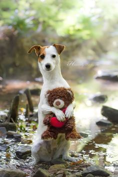 Cutest Jack Russell Terrier by Heavenly Pet Photography #dog #pet #photographer
