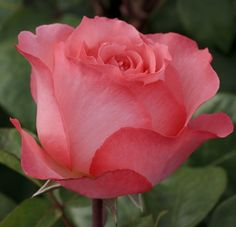 RP:  Panthere Rose : Meilland Roses