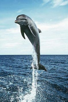 Dolphins🐬 are my favorite animal. Beautiful Creatures, Animals Beautiful, Dolphin Tours, Bottlenose Dolphin, Humpback Whale, Baby Dolphins, Water Animals, Delphine, Underwater Life