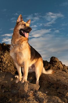 German shepherds are one of the most consistent canine breeds to make the American Kennel Club's annual list of the most popular dogs. Big German Shepherd, German Sheperd Dogs, German Dogs, Shepherd Dogs, Pomeranian Puppy, Schaefer, Service Dogs, Big Dogs, Beautiful Dogs
