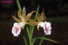Orchid: Galeandra devoniana