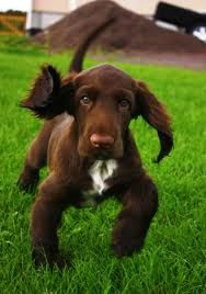 I'm totally in love with fieldspaniels!