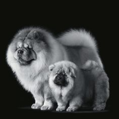 Chow Chows --- I miss our chows