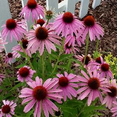 Coneflowers - just bought 2 to put in the garden