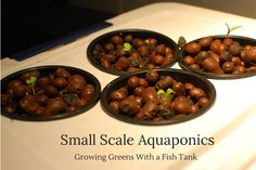 Small Scale Aquaponics – Growing Greens With a Fish Tank » Nature Moms