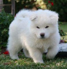 White Japanese Akita pup