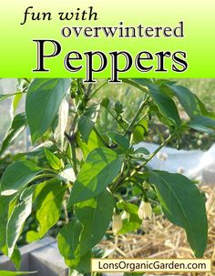 fun with overwintered Peppers. get a head start on next Spring.