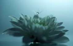 The Flower & The Pearl  - Another one of my dandelion and flower macro images :) If you like my macro/macro art images, danbo images, landscape/seascape or portraits/dog portrait images, stay in touch :) I wish you all a wonderful day :)