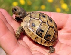 Baby Hermann's Tortoise 1 To 2 Inch