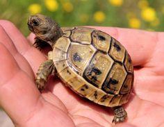 Baby Hermann's Tortoise