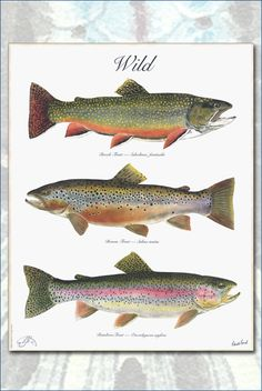 The WILD Poster, a 3 trout poster by Flick Ford with a Brook.-The WILD Poster, a 3 trout poster by Flick Ford with a Brook Trout, a Brown Trout and a Rainbow Trout. The WILD Poster a 3 trout poster by Flick by FlickFordFishPrints - Trout Fishing Tips, Salmon Fishing, Fishing Bait, Best Fishing, Saltwater Fishing, Fishing Tricks, Walleye Fishing, Fishing Rods, Tuna Fishing