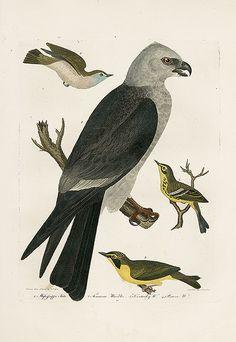 Alexander Wilson americanos Ornitología Impresiones del pájaro 1871