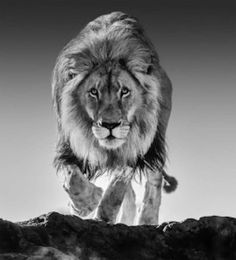 David Yarrow Photography - David is a photographer, author and conservationist based in London. He is also an affiliated photographer for Tusk Trust charity. Lion Images, Lion Pictures, Lion And Lioness, Lion Of Judah, Lion Wallpaper, Animal Wallpaper, Beautiful Cats, Animals Beautiful, David Yarrow