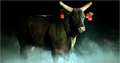 Asteroid The bucking bull | {Cattle} | Professional bull ...