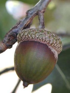"""okPLANTid -Northern Red Oak- Quercus rubra Fruit Detail: Acorn, solitary or paired, large, 3/4-1"""" long, enclosed by thick, flat, imbricate cap"""