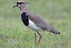 List of birds of Uruguay Mundo Animal, My Animal, Andean Condor, List Of Birds, England Fans, Dog Pin, Tropical Birds, Bird Feathers, Painted Horses