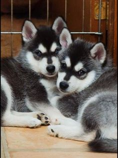 Twin Huskies