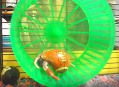 Provide your hermit crab with a hamster wheel for exercise! Buy a solid surface hamster wheel or make your own out of a CD spindle case or bowl. Hang the wheel on the wall of your crab cage or tank ju Hermit Crab Cage, Hermit Crab Homes, Hermit Crab Habitat, Hermit Crab Shells, Hermit Crabs, Halloween Crab, Beautiful Tropical Fish, Crab House, Class Pet