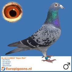 "NL.16-1148810 ""Super Man"" - Europigeons.nl"