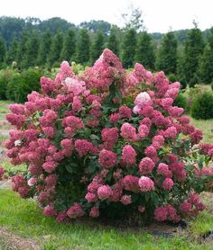 Proven Winners - Fire Light® - Panicle Hydrangea - Hydrangea paniculata pink red white white changing to pink-red plant details, information and resources. Hydrangea Paniculata, Hydrangea Shrub, Hortensia Hydrangea, Hydrangea Garden, Garden Shrubs, Flowering Shrubs, Garden Pests, Trees And Shrubs, Shade Garden