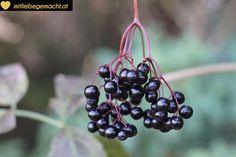 Holunderbalsamico selber machen Cupcakes, Elderflower, Blackberry, Fruit, Food, Shrubs, Ancient Recipes, Fried Cabbage Recipes, Sugar