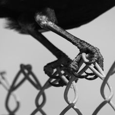 """@thecrowtographer on Instagram: """"Holding on for the weekend. #crowtograph #birdsofinstagram #crowtoegraph"""""""