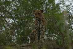 Mvula was sitting on an enormous termite mound watching some impala at a water hole.