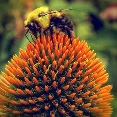 Bee on echinacea. Columbus, Ohio.   © 2014 Andy Spessard Photography www.andyspessard.com  #columbus #ohio