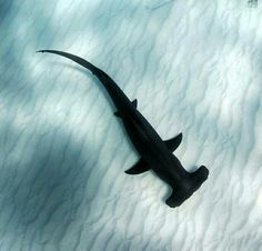 Hammerhead - My list of the most beautiful animals Wildlife Photography, Animal Photography, Beautiful Creatures, Animals Beautiful, Save The Sharks, Shark Bait, Megalodon, Water Animals, Water Life