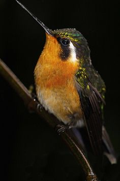 White-throated Mountain Gem Hummingbird  ||  Monte Verde Cloud Forest - My Highlight Of 2010 | by Ian Lambert