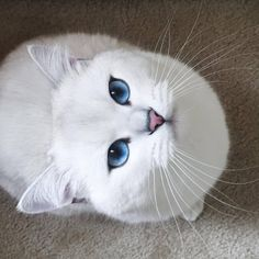 What's white and blue and pink and purrfect?   Coby