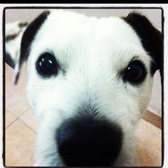 My dog #dog #jackrussell