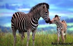 I have a slight zebra obsession. Not with zebra prints, but actual zebras. Tier Wallpaper, Animal Wallpaper, Baby Wallpaper, Wallpaper Desktop, Zebra Wallpaper, Desktop Backgrounds, Hd Desktop, Zebra Pictures, Animal Pictures
