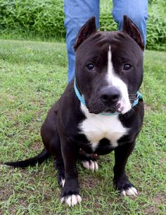 Maverick D-64692 Dog • American Staffordshire Terrier Mix • Young • Male • Large Burlington County Animal Shelter Mount Holly, NJ