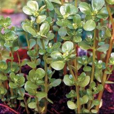 "Purslane is a tasty, easy-to-grow ""weed,"" and a rich source of omega-3s."