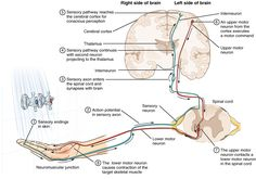 The Function of Nervous Tissue – Anatomy and Physiology Sensory Pathways, Motor Neuron, Cerebral Cortex, Human Anatomy And Physiology, Hand Therapy, Wing Chun, Life Science, Perception, Nervous System