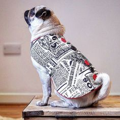 """So happy to have completed our most recent photoshoot with the adorable Eliz pug! Here we have """"Paparazzi"""" which is hand-crafted for your doggy pleasure! Please check out our webpage with all new jumpers and garments to follow shortly! #pug #puglove  Check out our webpage to see our current doggy clothing collection (link in bio). Full doggy clothing line coming soon!  #doggydoolittle #dogclothes #puppyclothes #dog #dogs #dogsofinstagram #pooch #pooches #puppy #puppylove #dogstagram #poodles…"""