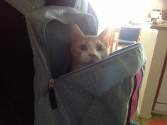 it s bring-your-cat-to-school day - http://cutecatshq.com/cats/it-s-bring-your-cat-to-school-day/