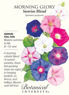 Sunrise Blend's assortment of luscious colorful blooms flutter in the breeze against vigorous heart-shaped foliage from midsummer to the first fall frost. The flowers open in early morning, an Planting Bulbs, Planting Flowers, Flowers Garden, Full Sun Annuals, Fast Growing Vines, House Plant Delivery, House Plants For Sale, Morning Glory Flowers, Frida Art