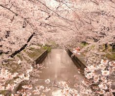 spring cherry blossoms. #japan #travel a fantasy world <3