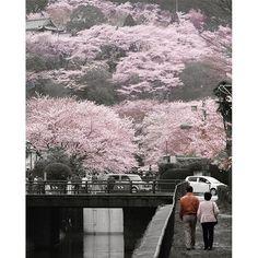 【manahoihoi_color】さんのInstagramをピンしています。 《「二人で見る桜」 ∞ 二人で並んで見る桜は、桜だけが目に映り、二人だけの時間と空間が、そこに流れているようでした。 ∞ ∞ ∞ @image_and_creation さんから #ピンクバトン を頂戴した時に、候補が二枚あったのですが…こちらもせっかくなので投稿しました(^^ ∞ モノクロ化することによって、桜のグラデーションがよりはっきりしました(^^ ∞ ∞ #滋賀 #大津 #琵琶湖疏水 #三井寺 #桜 #二人 #2016 #春 #モノクロ #ピンク ∞ #キタムラ写真投稿 #東京カメラ部 #はなまっぷ #しがトコ ∞ #gobiwako #IGersJP #Lovers_Nippon #team_jp_flower #tokyocameraclub ∞ #LUMIX #GX7》