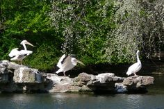 Flapping | Pelicans in St James's Park London-Flickr - Photo Sharing!