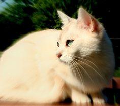 burmilla-cat-closeup.jpg (450×400)