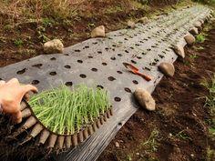 Как вырастить лук из семян (чернушки)