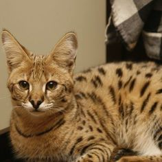 Cheetoh cat breed. Cheetoh  The Cheetoh is a result of breeding Bengals and Ocicats to create a special recognized pedigree breed.