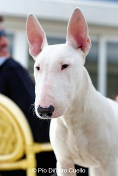 Bull Terrier Fostered one of these for a day and she was great! Lovely and well mannered dog English Bull Terrier Puppy, Bull Terrier Dog, Cute Dogs And Puppies, I Love Dogs, Doggies, Most Beautiful Dogs, Education Canine, Terrier Breeds, Best Dog Breeds