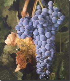 Merlot Wine Grape