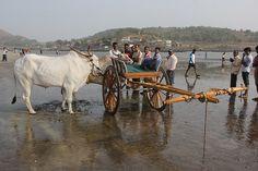 Bullock Cart Race Murud Janjira 2013