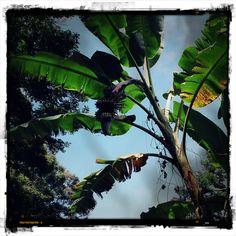 Banana Tree, 2004